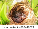 Two Bulbul Chicks In Nest In...