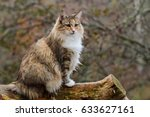 Stock photo norwegian forest cat sitting on a log 633627161
