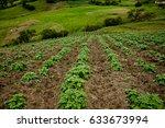 potato plants sown at a field... | Shutterstock . vector #633673994