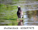 Wet Bird Pigeon Walking In...