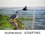 Wet Pigeons On Wet Asphalt And...