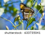 Small photo of California sister butterfly (Adelpha californica) resting with its wings folded on a Morning Glory vine; blue sky background; Stebbins Cold Canyon, Napa Valley, California