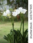 Small photo of Crinum moorei, Amaryllidaceae family