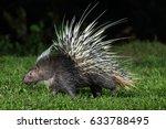 malayan porcupine  himalayan... | Shutterstock . vector #633788495