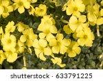 Oxalis  Weed  Oxalidaceae Or...