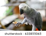 Small photo of African gray parrot (Psittacus erithacus) holding and eating a peanut.