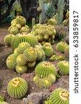 A Lot Of Golden Barrel Cactus ...