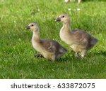 Goslings From Greylag Goose  ...