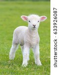 Stock photo small cute lamb gambolling in a meadow in england farm 633926087