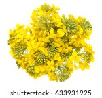 Rapeseed Flower Isolated On...