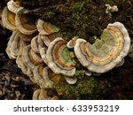 turkey tail  trametes... | Shutterstock . vector #633953219
