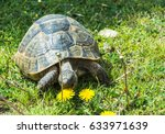 A Large Turtle Is Crawling And...