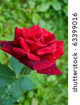 Red Rose With Water Drops In M...