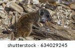 meerkat pup laying on a log... | Shutterstock . vector #634029245
