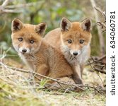 two red fox cubs posing next to ... | Shutterstock . vector #634060781