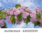 cherry blooms branch and sky....   Shutterstock . vector #634203545