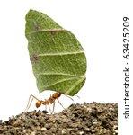 Leaf Cutter Ant  Acromyrmex...