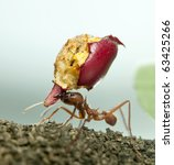 Small photo of Leaf-cutter ant, Acromyrmex octospinosus, carrying eaten apple