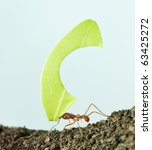 Small photo of Leaf-cutter ant, Acromyrmex octospinosus, carrying leaf in front of blue background
