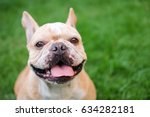smile face of french bulldog.... | Shutterstock . vector #634282181