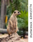 meerkat standing on the rock... | Shutterstock . vector #634415774