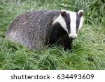 foraging british badger moving... | Shutterstock . vector #634493609