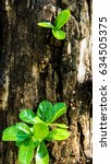 Small photo of Leaf and trunk of Calabash tree
