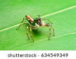 Jumping Spider On Leaf Green...