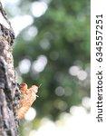 Small photo of molt of cicada shell
