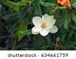 White Flower Of Magnolia Tree