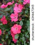 closeup of pink rose flowers   Shutterstock . vector #634667345