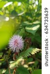 Small photo of Mimosa flower