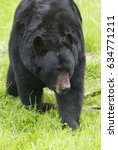 Small photo of American Black Bear with grass background