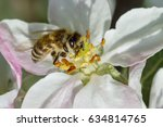 bee pollinating apple blossoms