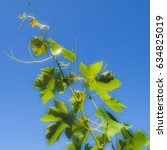Small photo of Grapevine (plantae magnoliophyta magnoliopsida rosidae vitales vitaceae vitis), dreamy faded look