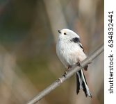 Small photo of Long-tailed Tit sitting on the branch (Aegithalos caudatus)