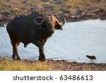 Water Buffalo Finishes Drinkin...