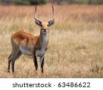 Red Lechwe In Moremi Game...