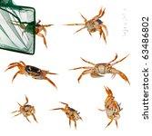 Patriot Crabs  Cardisoma...