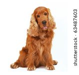 Stock photo english cocker spaniel dog sit on isolated white background 63487603