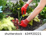 Photo of gloved woman hand holding weed and tool removing it from soil. - stock photo
