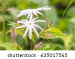 Small photo of White flowers, Scented star jasmine, Climbing jasmine (Jasminum Adenophyllum), with water droplets, in soft blurred style, with green leaves blur background, macro. Thailand.
