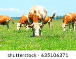 Cows In Pasture On Meadow