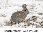 Mountain Cottontail Rabbit On...