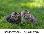 Stock photo purebred scottish fold kittens sit side by side in the green meadow 635315909
