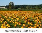 Pumpkin Field On A Bright...
