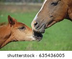 Portrait Of  Mare And Foal ...