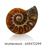 Ammonite Fossil Shell...