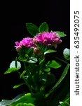 Small photo of Plant of succulent Kalanchoe plant Kalanchoe Blossfeldiana on dark background, purple flowers