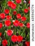 beautiful red tulips in nature | Shutterstock . vector #635543774